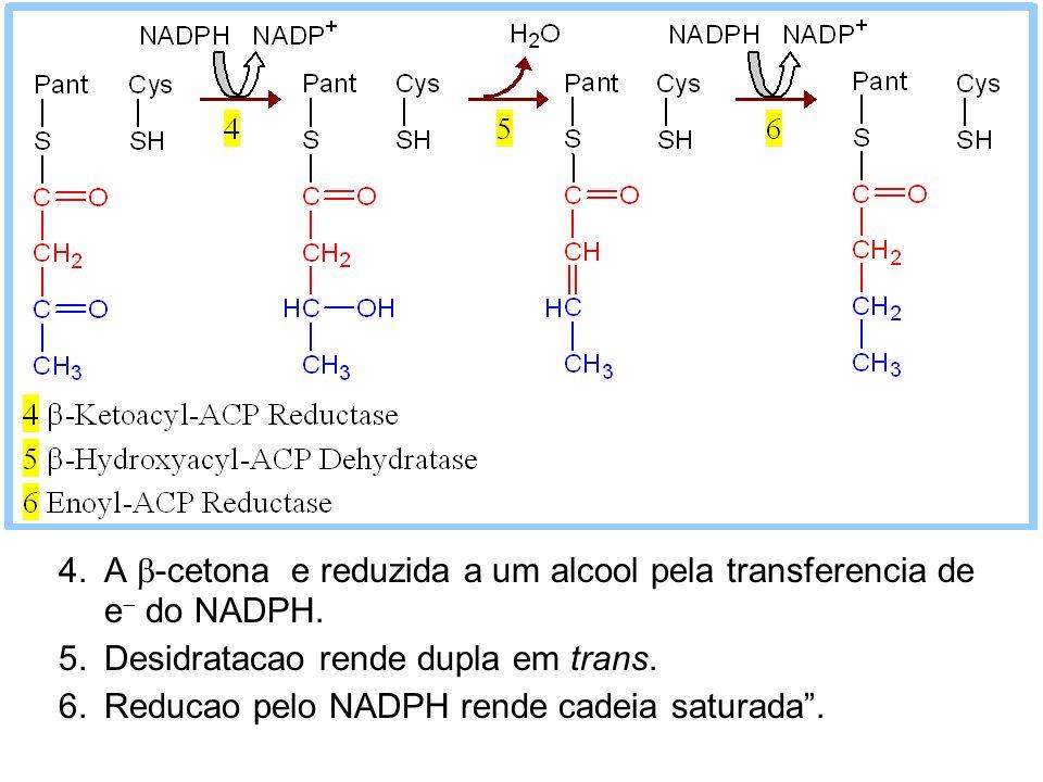 A b-cetona e reduzida a um alcool pela transferencia de e- do NADPH.