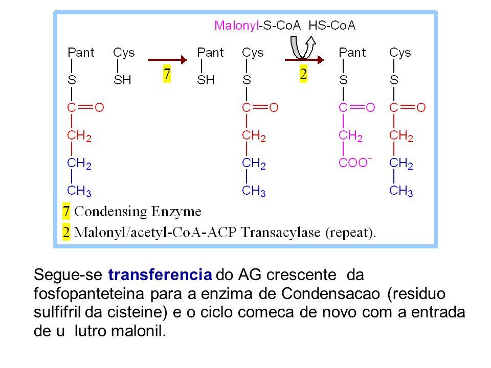 Segue-se transferencia do AG crescente da fosfopanteteina para a enzima de Condensacao (residuo sulfifril da cisteine) e o ciclo comeca de novo com a entrada de u lutro malonil.