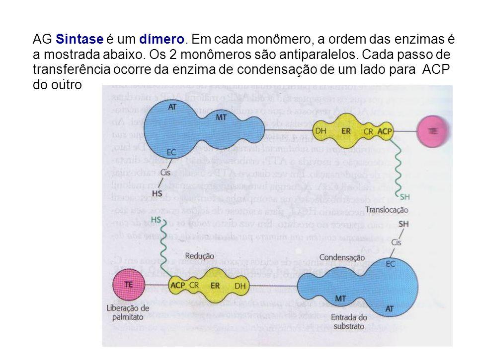 AG Sintase é um dímero. Em cada monômero, a ordem das enzimas é a mostrada abaixo. Os 2 monômeros são antiparalelos. Cada passo de transferência ocorre da enzima de condensação de um lado para ACP do outro