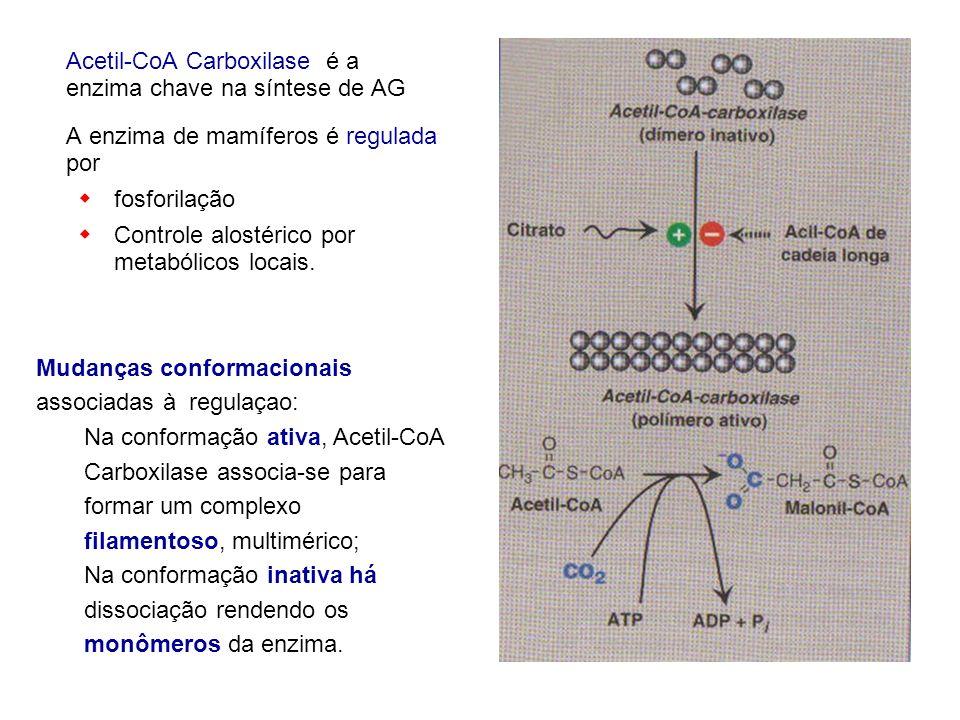 Acetil-CoA Carboxilase é a enzima chave na síntese de AG