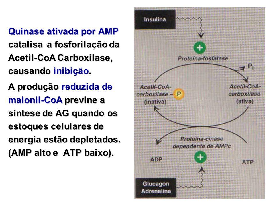 Quinase ativada por AMP catalisa a fosforilação da Acetil-CoA Carboxilase, causando inibição.