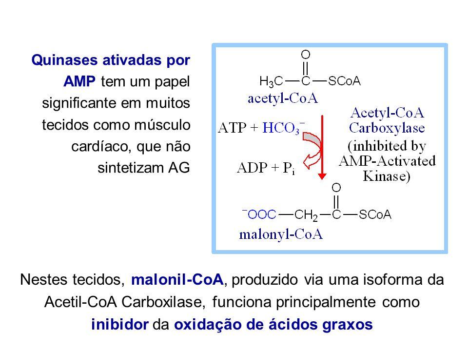 Quinases ativadas por AMP tem um papel significante em muitos tecidos como músculo cardíaco, que não sintetizam AG