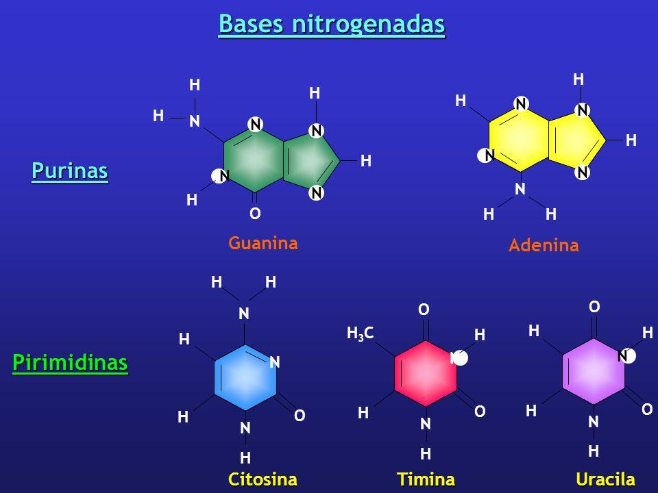 Bases nitrogenadas Purinas Pirimidinas Guanina Adenina Citosina Timina