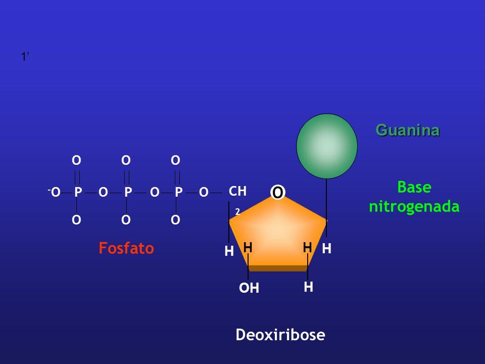 1' Guanina O P -O Fosfato O CH2 H OH Deoxiribose Base nitrogenada