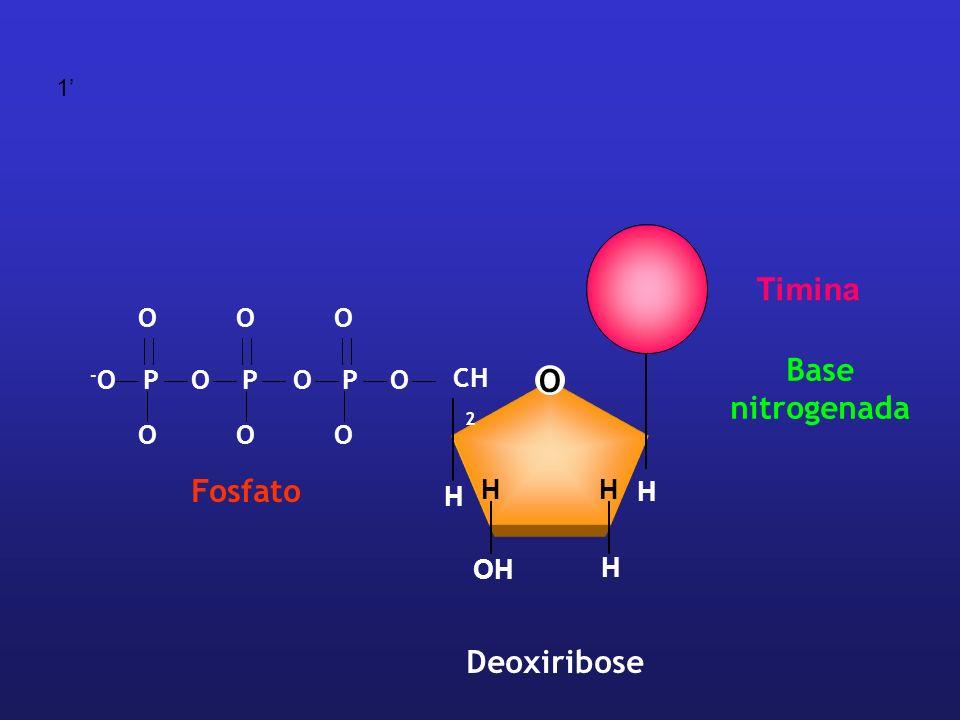 1' Timina O P -O Fosfato O CH2 H OH Deoxiribose Base nitrogenada