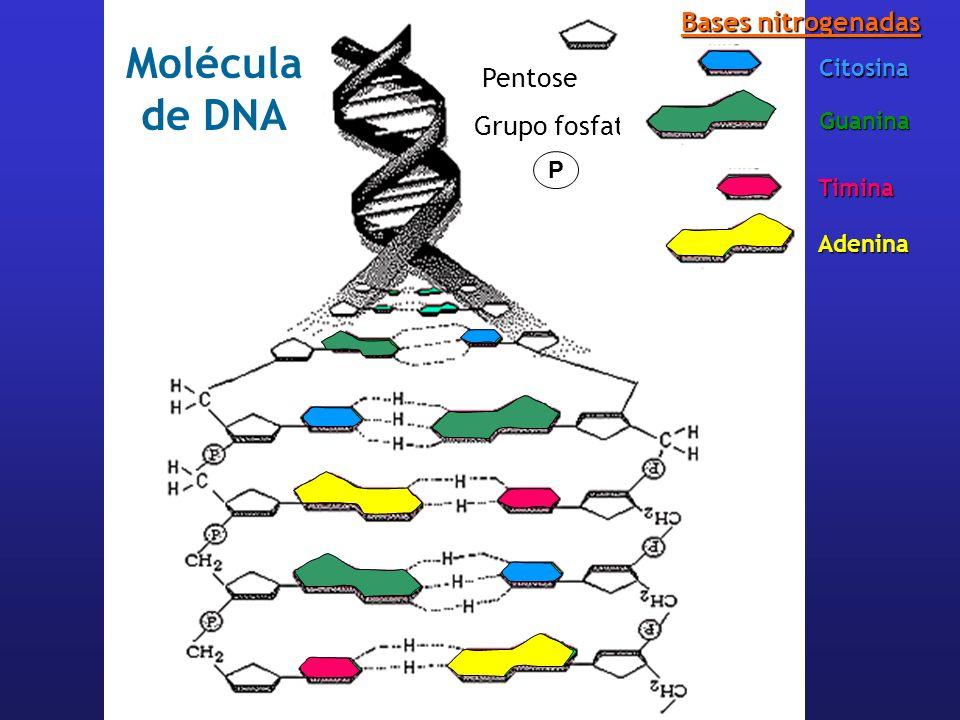 Molécula de DNA Bases nitrogenadas Pentose Grupo fosfato Citosina