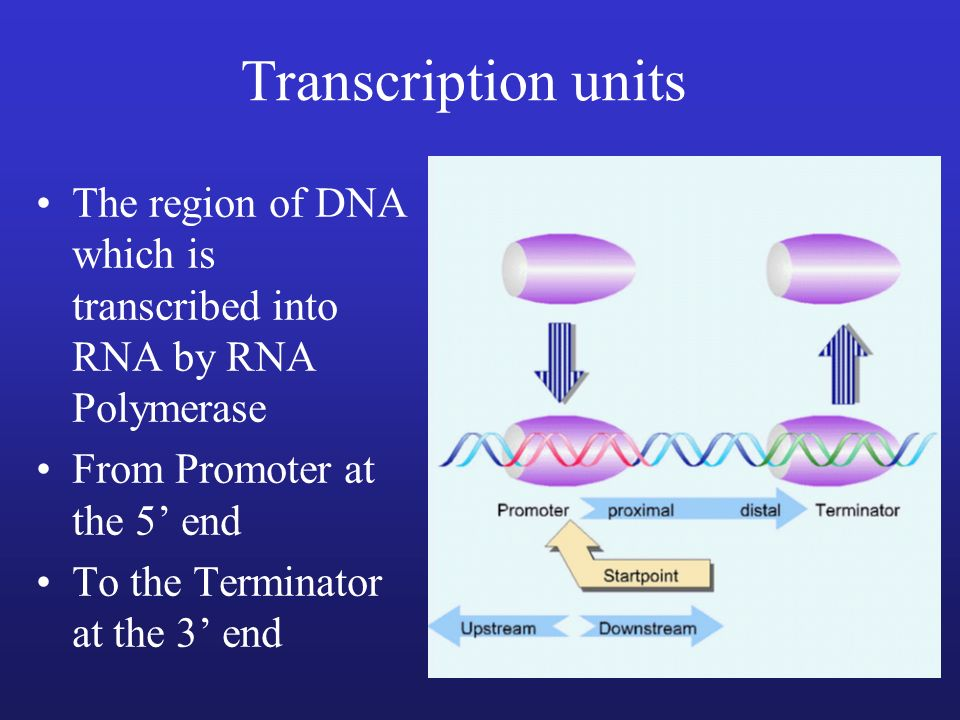 Transcription unitsThe region of DNA which is transcribed into RNA by RNA Polymerase. From Promoter at the 5' end.