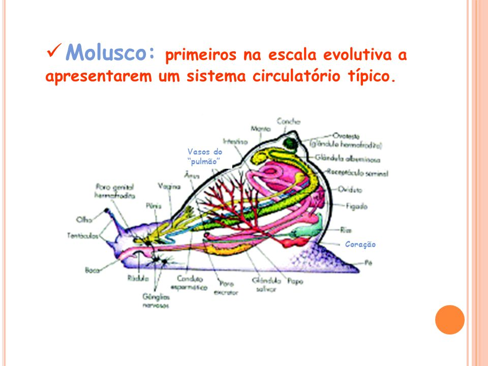 Molusco: primeiros na escala evolutiva a apresentarem um sistema circulatório típico.