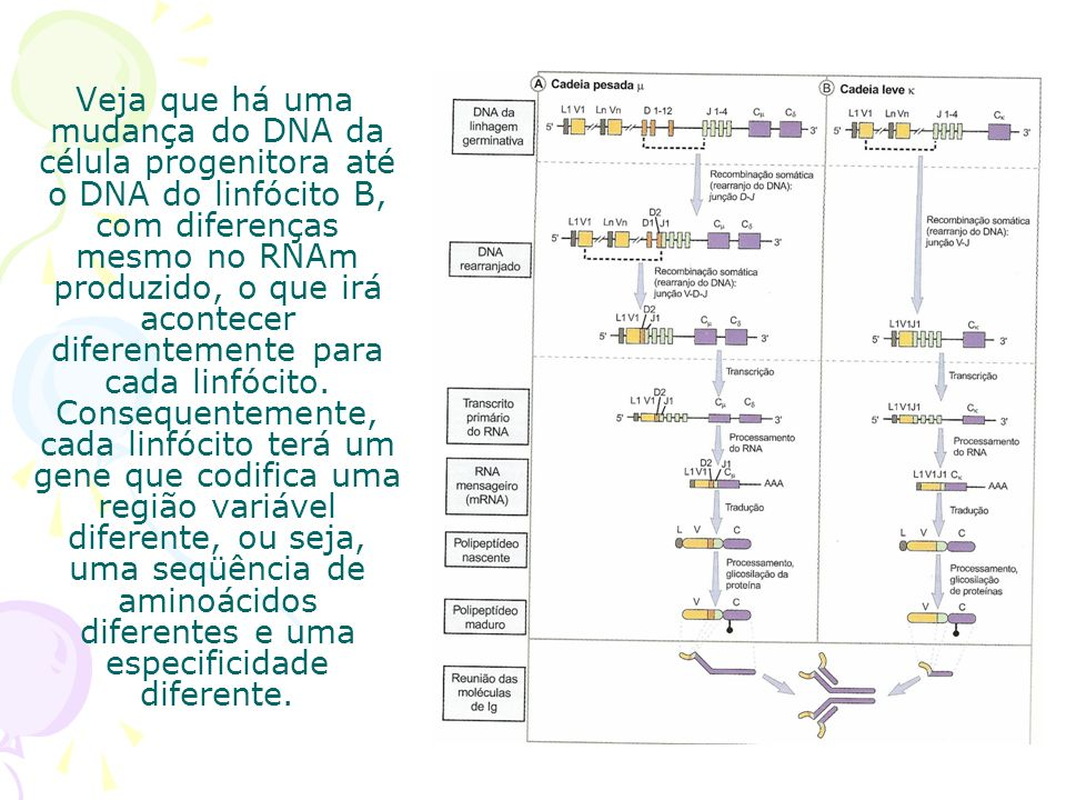 Veja que há uma mudança do DNA da célula progenitora até o DNA do linfócito B, com diferenças mesmo no RNAm produzido, o que irá acontecer diferentemente para cada linfócito.