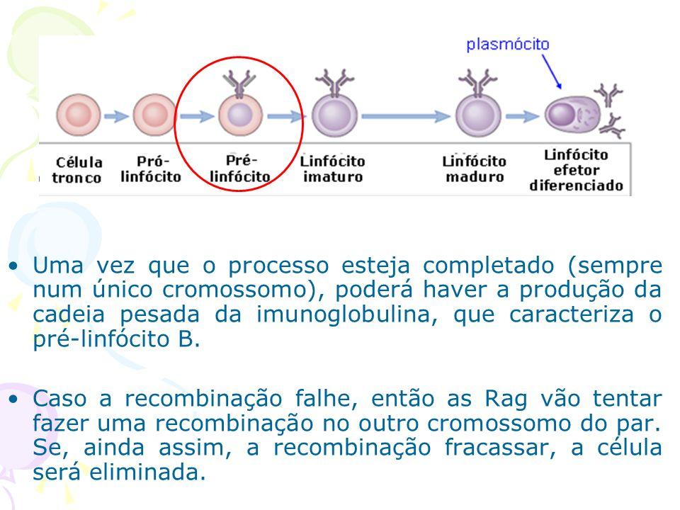 Uma vez que o processo esteja completado (sempre num único cromossomo), poderá haver a produção da cadeia pesada da imunoglobulina, que caracteriza o pré-linfócito B.
