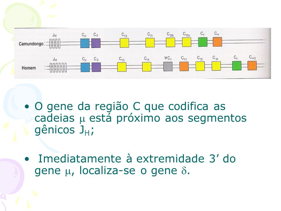 O gene da região C que codifica as cadeias  está próximo aos segmentos gênicos JH;