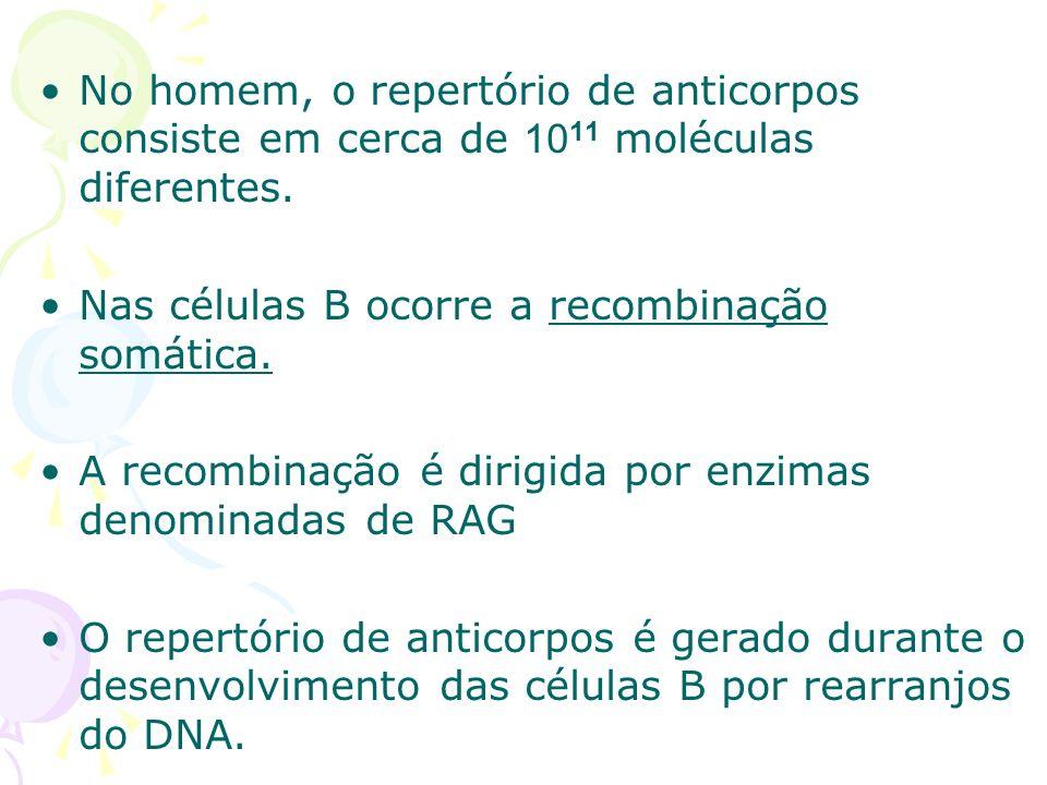 No homem, o repertório de anticorpos consiste em cerca de 1011 moléculas diferentes.