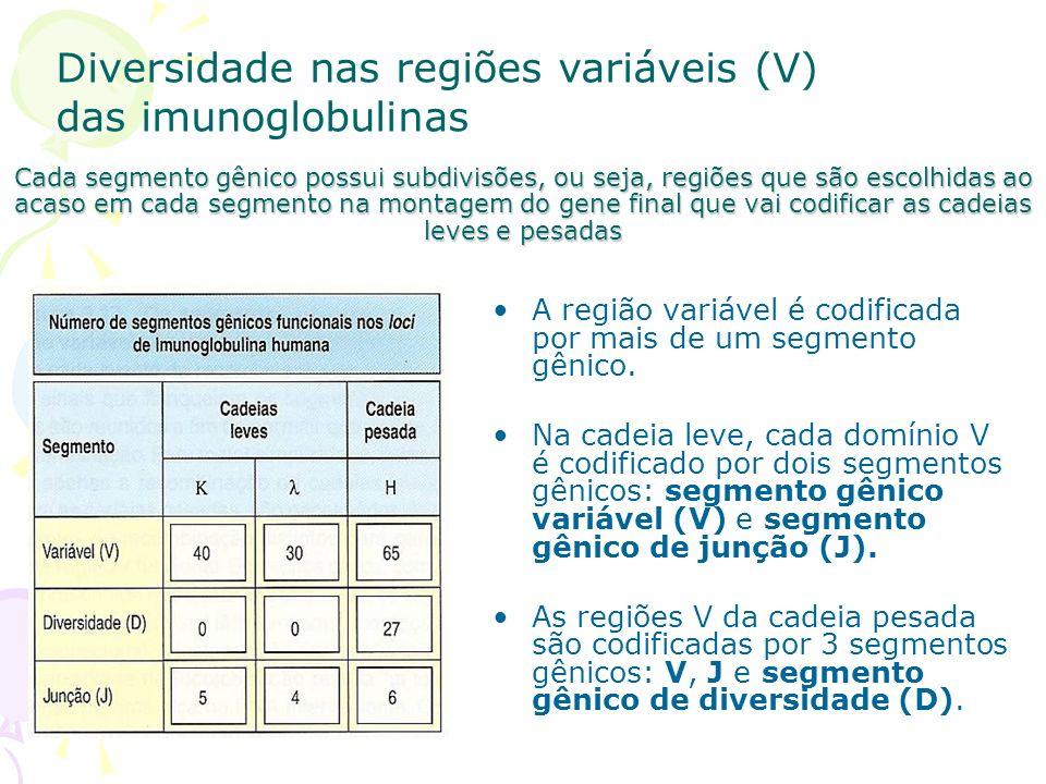 Diversidade nas regiões variáveis (V) das imunoglobulinas