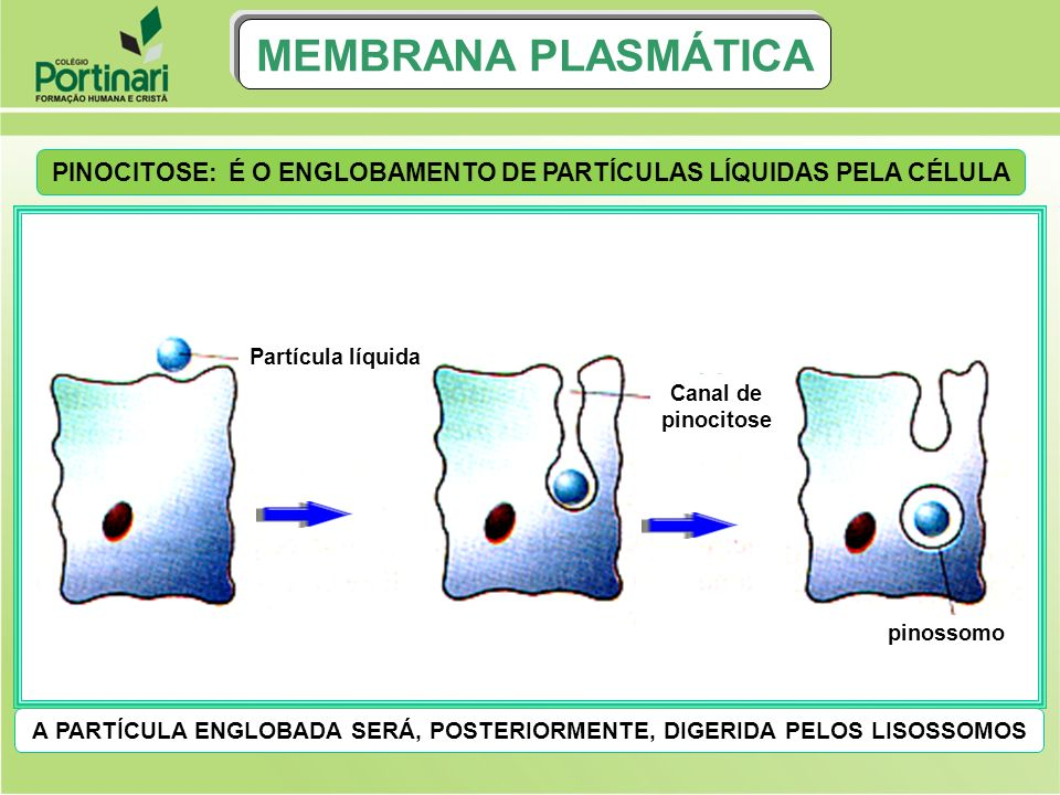 MEMBRANA PLASMÁTICA PINOCITOSE: É O ENGLOBAMENTO DE PARTÍCULAS LÍQUIDAS PELA CÉLULA. Partícula líquida.