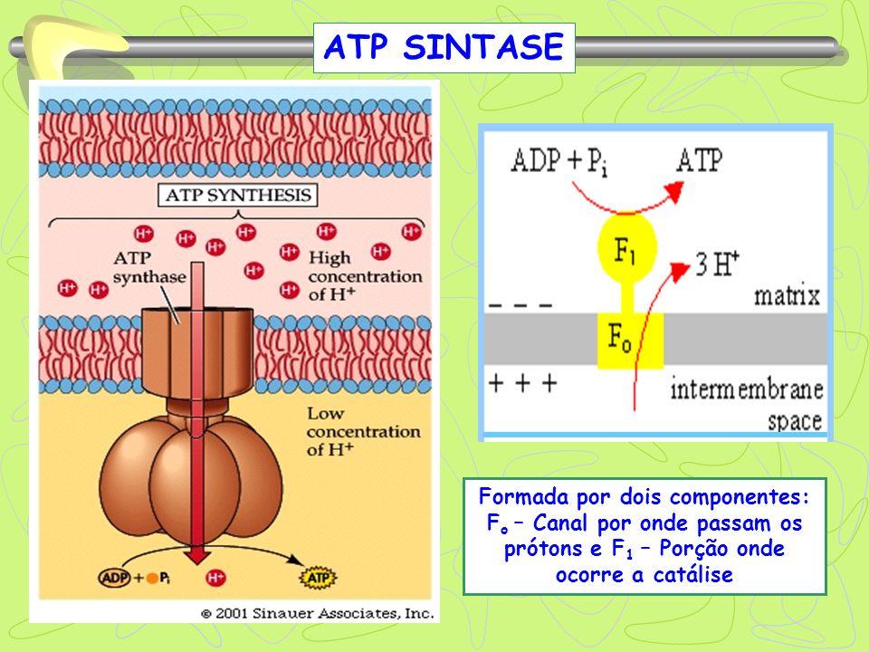 ATP SINTASE Formada por dois componentes: Fo – Canal por onde passam os prótons e F1 – Porção onde ocorre a catálise.