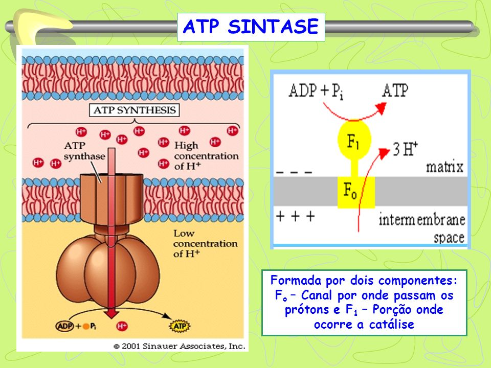 ATP SINTASEFormada por dois componentes: Fo – Canal por onde passam os prótons e F1 – Porção onde ocorre a catálise.