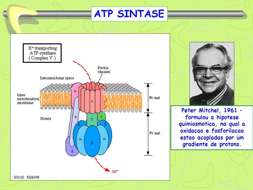 ATP SINTASEPeter Mitchel, 1961 –formulou a hipotese quimiosmotica, na qual a oxidacao e fosforilacao estao acopladas por um gradiente de protons.