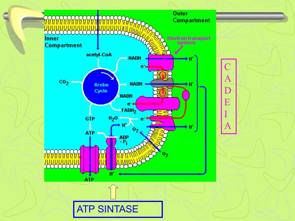 CADEIA ATP SINTASE