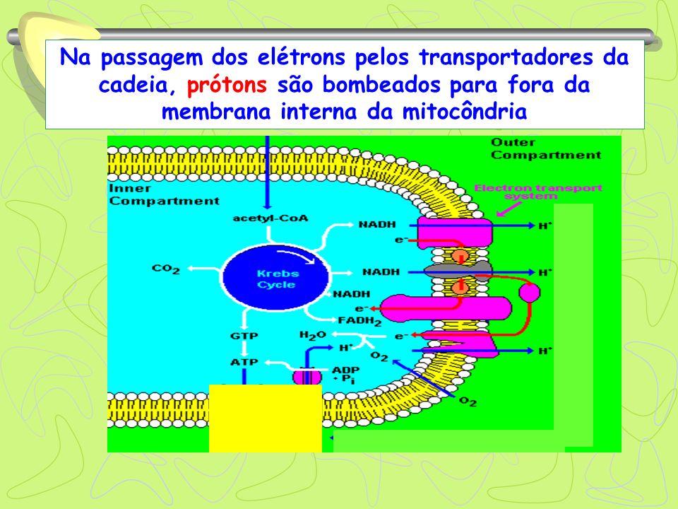 Na passagem dos elétrons pelos transportadores da cadeia, prótons são bombeados para fora da membrana interna da mitocôndria