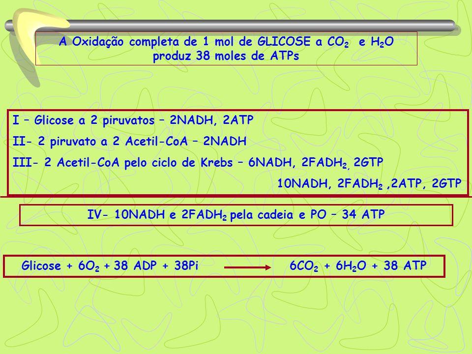 IV- 10NADH e 2FADH2 pela cadeia e PO – 34 ATP