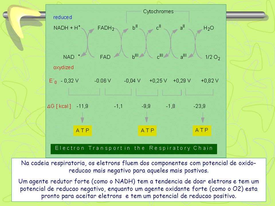 Na cadeia respiratoria, os eletrons fluem dos componentes com potencial de oxido-reducao mais negativo para aqueles mais postivos.