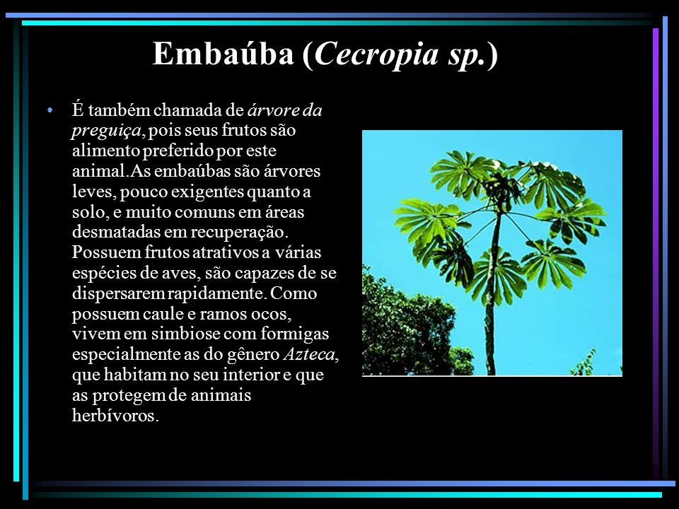 Embaúba (Cecropia sp.)