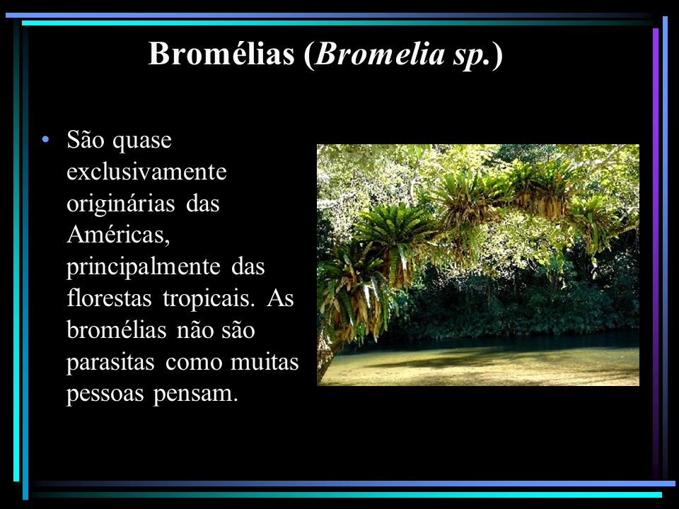 Bromélias (Bromelia sp.)