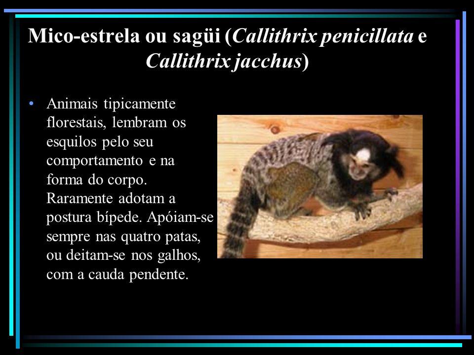 Mico-estrela ou sagüi (Callithrix penicillata e Callithrix jacchus)