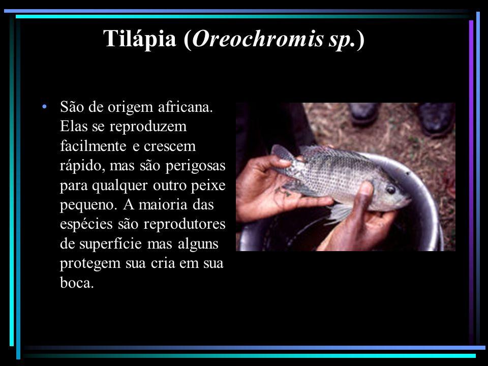 Tilápia (Oreochromis sp.)