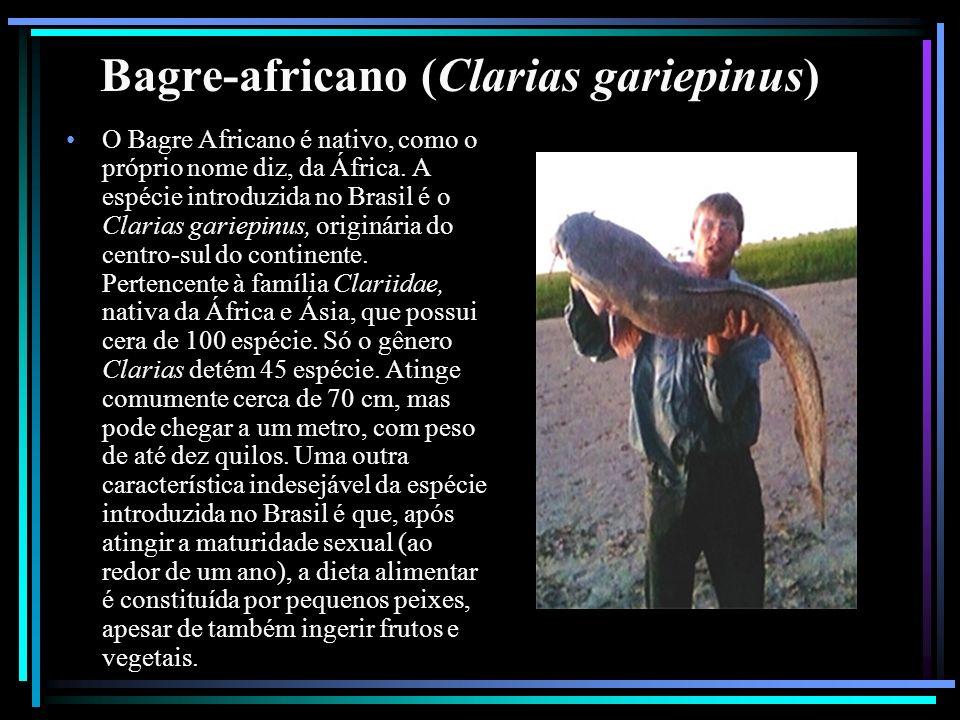 Bagre-africano (Clarias gariepinus)