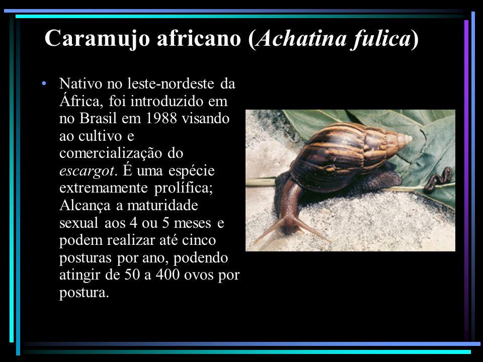 Caramujo africano (Achatina fulica)