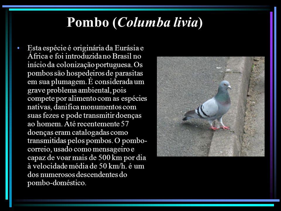 Pombo (Columba livia)