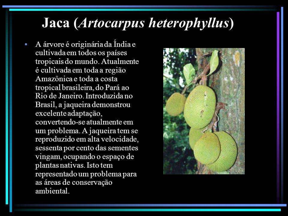 Jaca (Artocarpus heterophyllus)