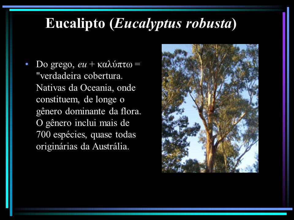 Eucalipto (Eucalyptus robusta)