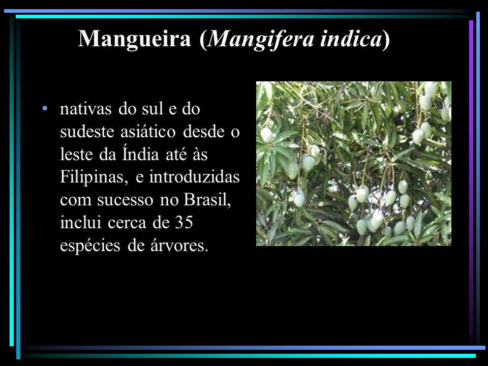 Mangueira (Mangifera indica)