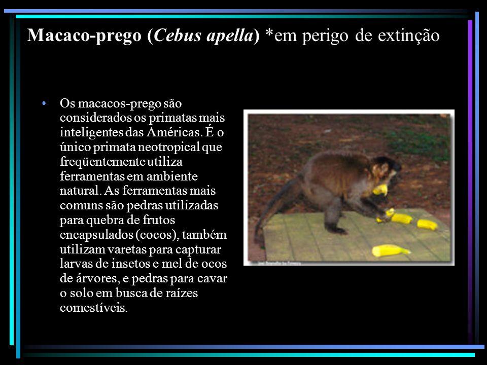 Macaco-prego (Cebus apella) *em perigo de extinção