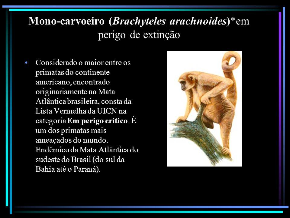 Mono-carvoeiro (Brachyteles arachnoides)*em perigo de extinção