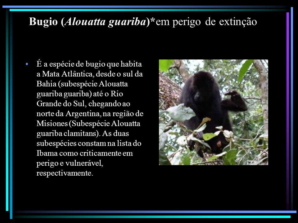Bugio (Alouatta guariba)*em perigo de extinção
