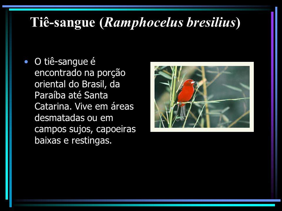 Tiê-sangue (Ramphocelus bresilius)