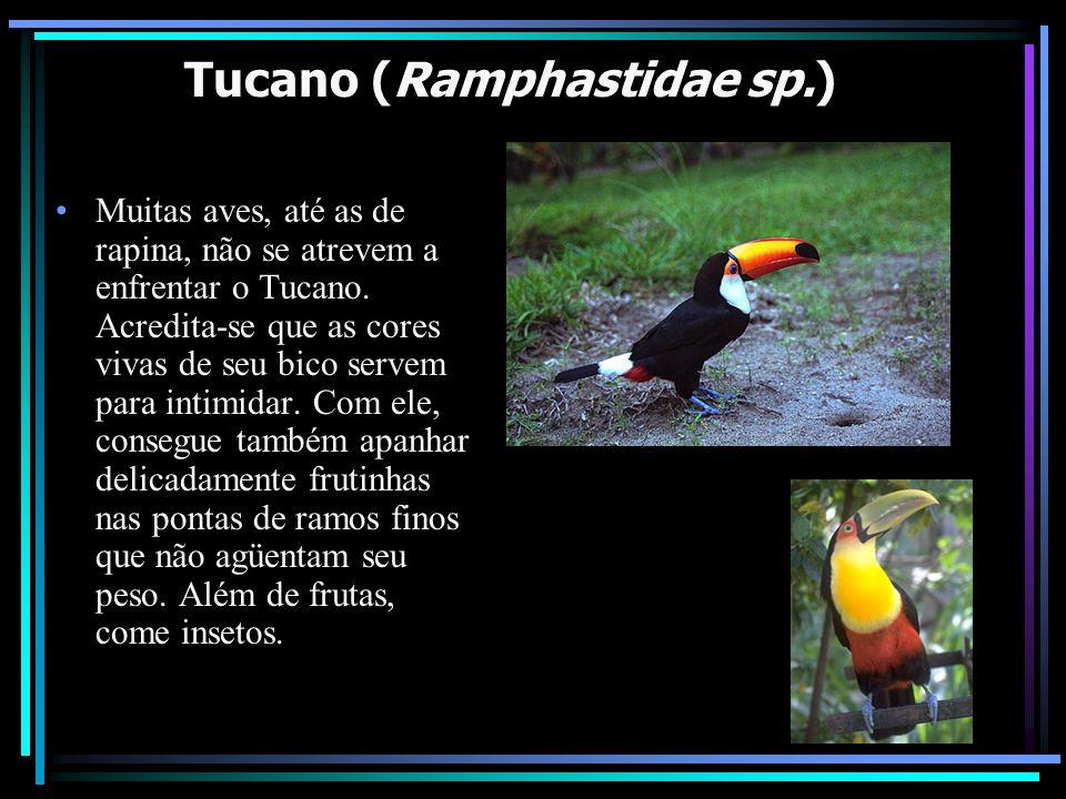 Tucano (Ramphastidae sp.)