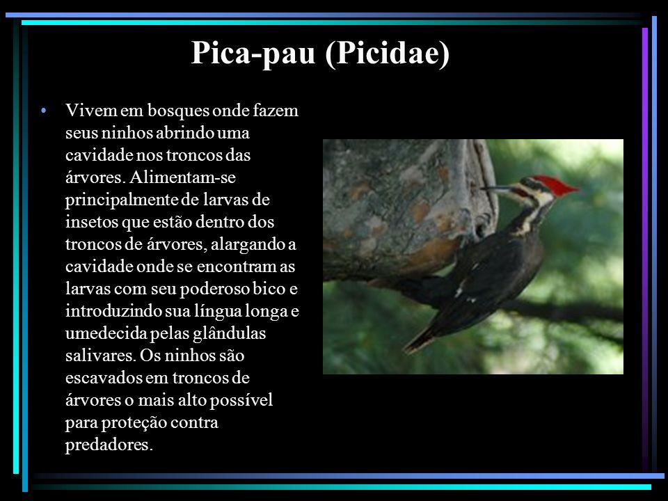 Pica-pau (Picidae)