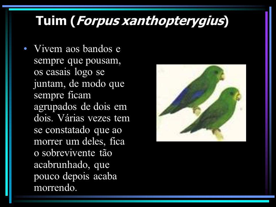 Tuim (Forpus xanthopterygius)