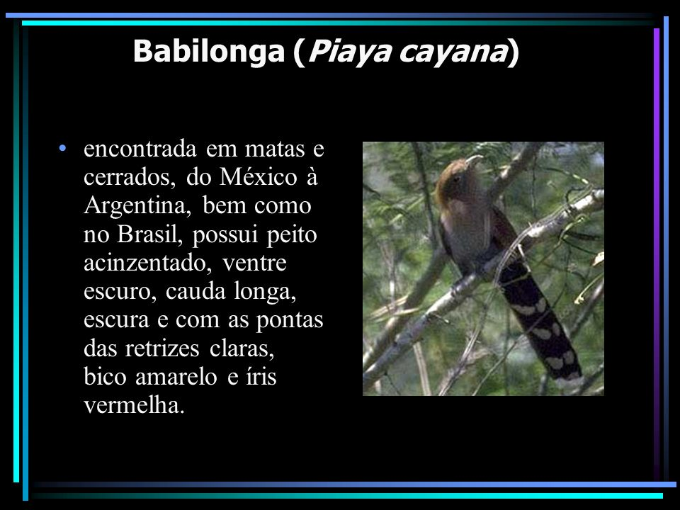 Babilonga (Piaya cayana)