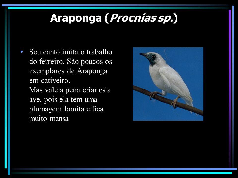Araponga (Procnias sp.)