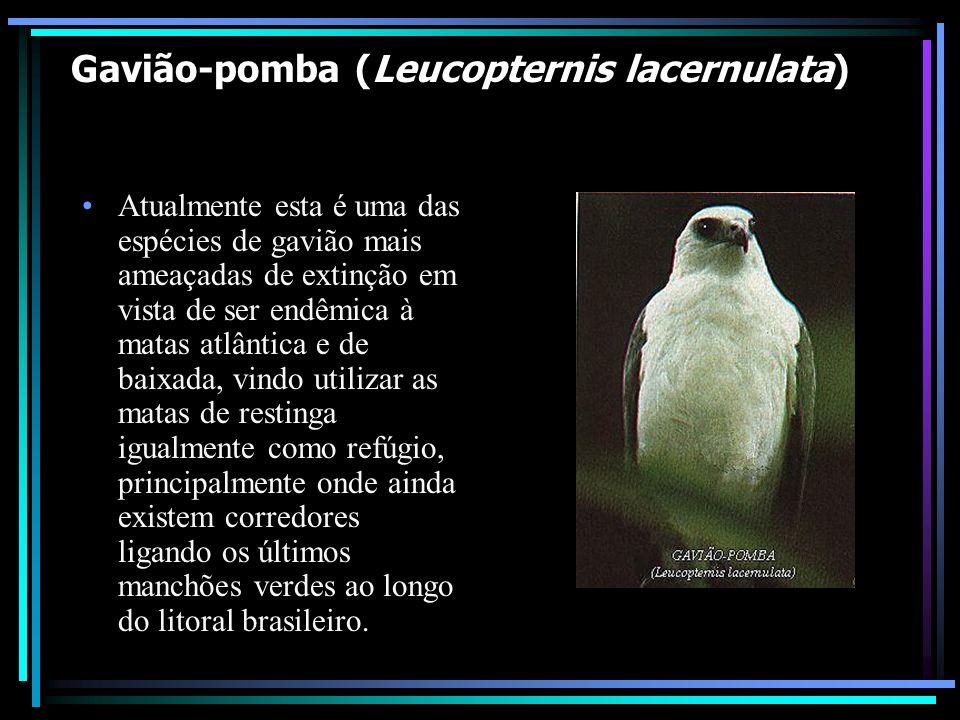 Gavião-pomba (Leucopternis lacernulata) *em perigo de extinção