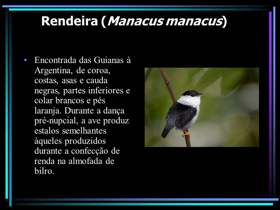 Rendeira (Manacus manacus)