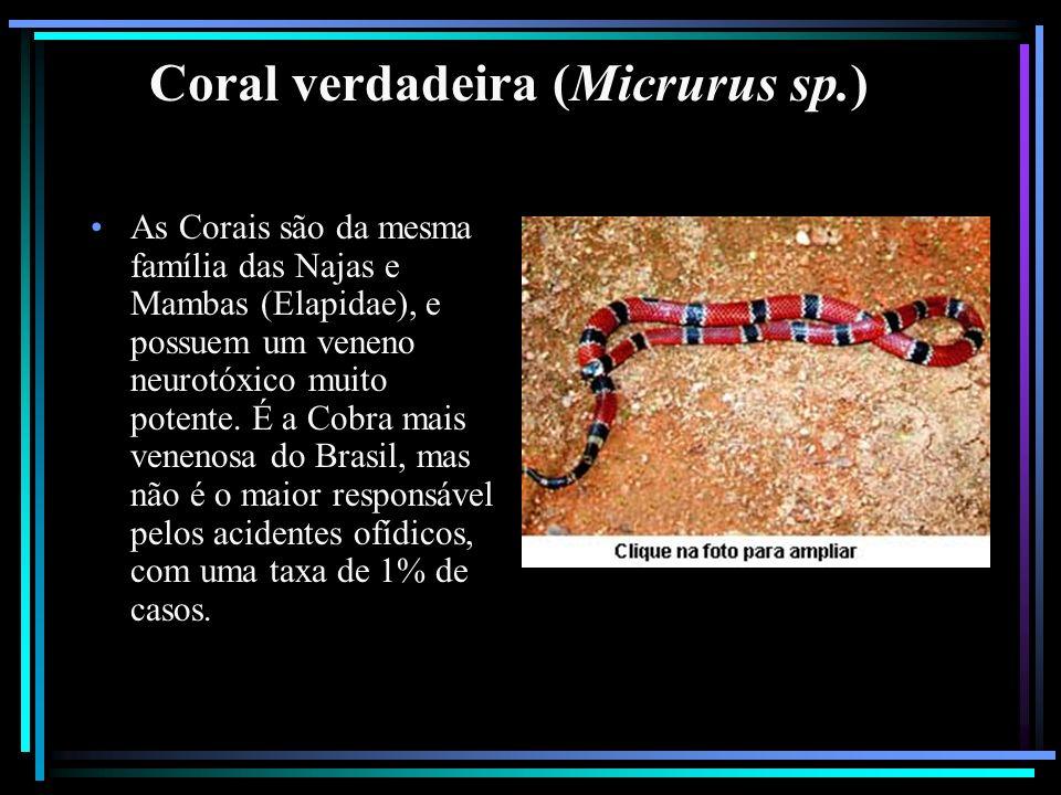 Coral verdadeira (Micrurus sp.)