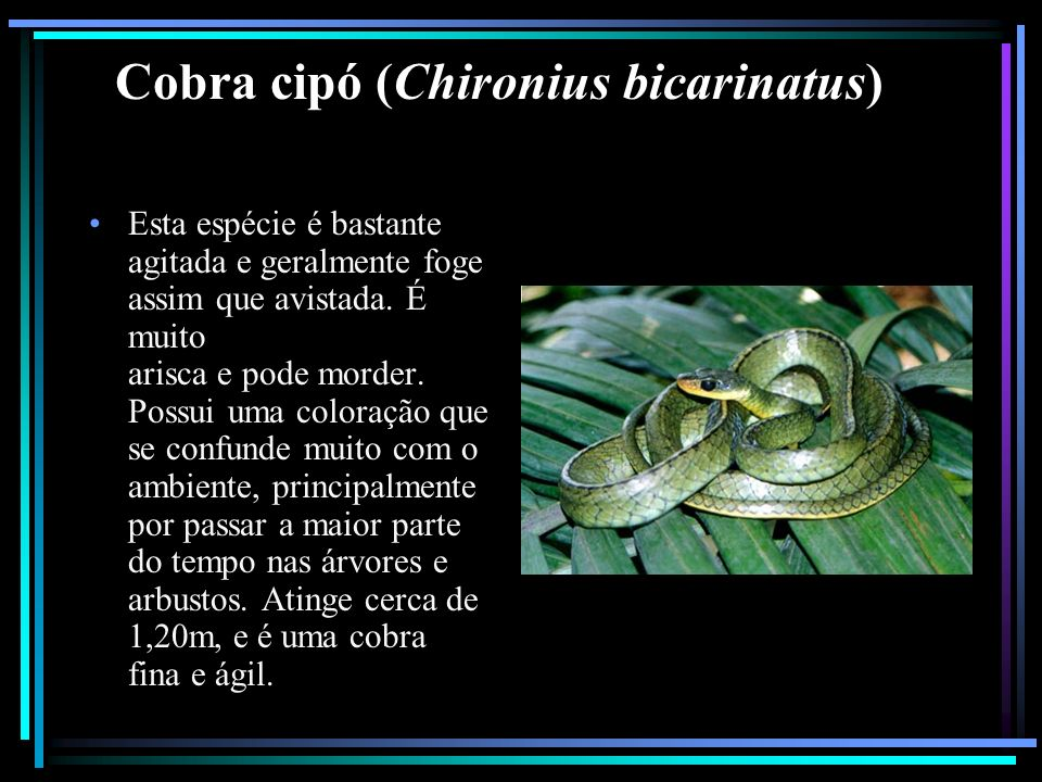 Cobra cipó (Chironius bicarinatus)