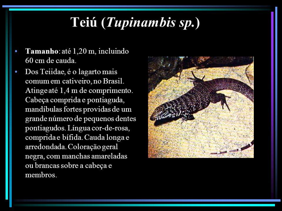 Teiú (Tupinambis sp.) Tamanho: até 1,20 m, incluindo 60 cm de cauda.