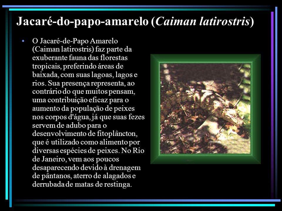 Jacaré-do-papo-amarelo (Caiman latirostris)